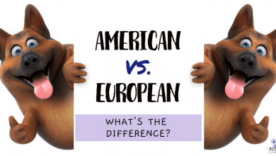 Photo of What Is The Difference Between An European And American German Shepherd?