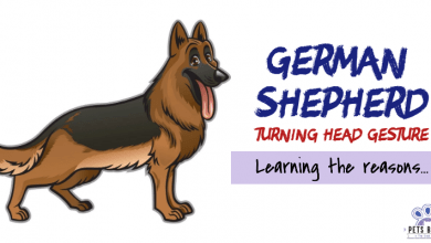 Photo of Why Do German Shepherds Turn Their Heads?