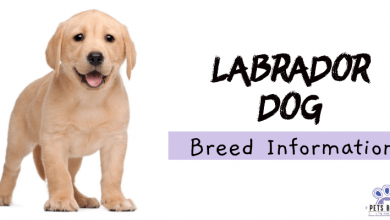 Photo of Labrador Retriever Dog breed Information