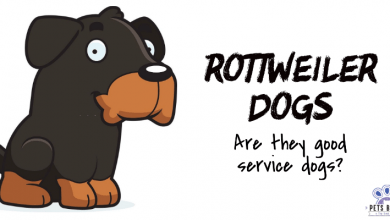 Photo of Are Rottweilers Good Service Dogs?