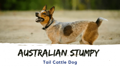 Photo of The Australian Stumpy Tail Cattle Dog