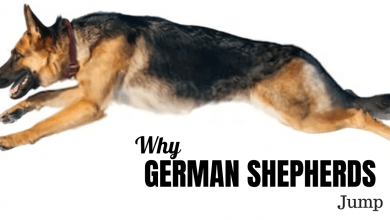 Photo of Why Do German Shepherds Jump