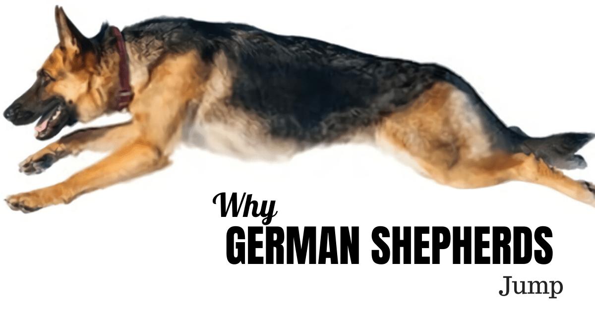 Why Do German Shepherds Jump