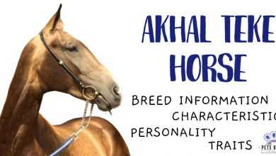 Photo of Akhal Teke Horse: The Fascinating Information About This Breed!
