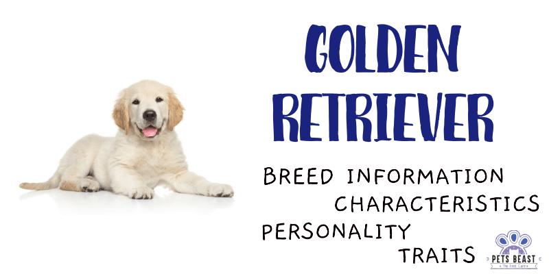 Golden Retriever Breed Information