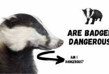 Photo of Are Badgers Dangerous?