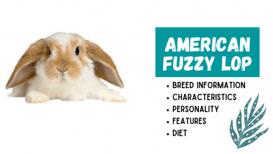 Photo of American Fuzzy Lop