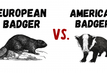 Photo of European Badger vs American Badger