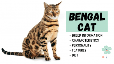 Photo of Bengal Cat Breed Information
