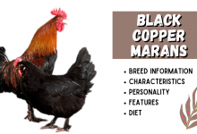 Photo of Black Copper Marans Breed Information