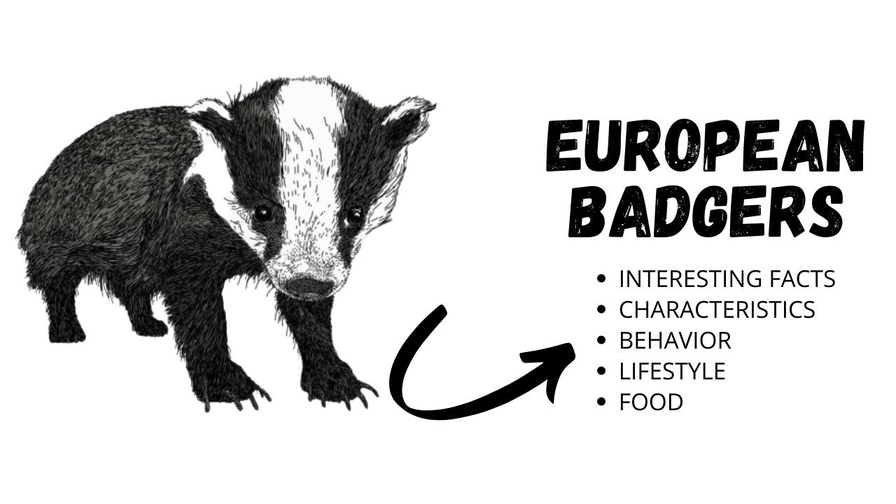 European Badgers