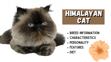 Photo of HIMALAYAN CAT Breed Information