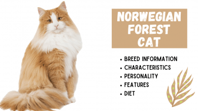 Photo of NORWEGIAN FOREST CAT Breed Information