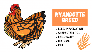 Photo of Wyandotte Breed Information