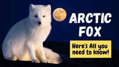 Photo of Arctic Fox Breed Information