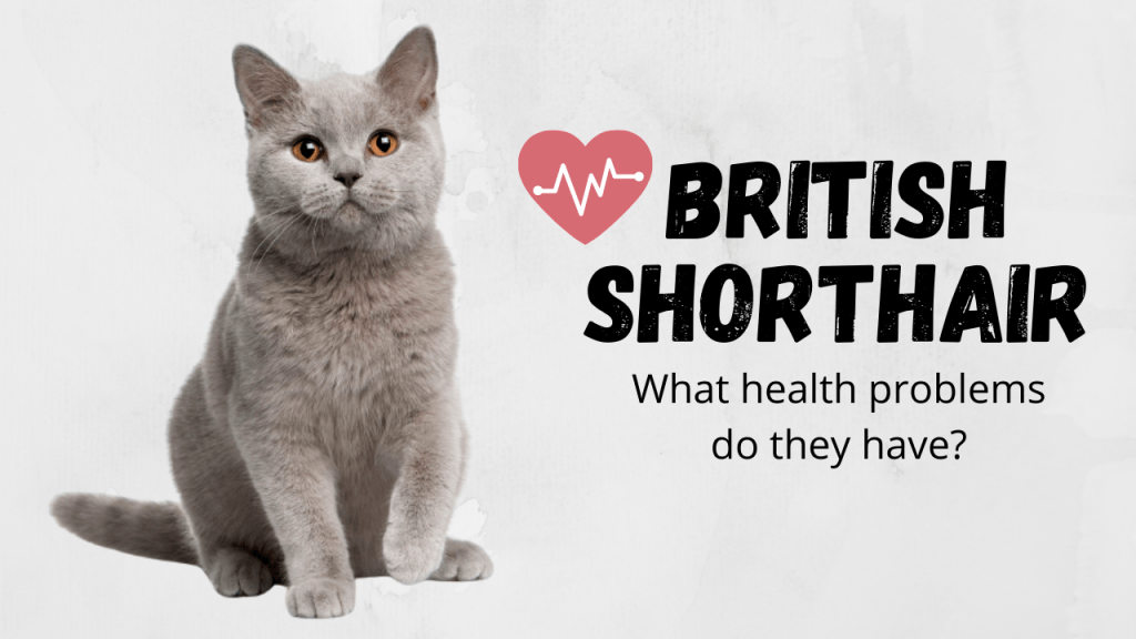 British Shorthair Cat Health Problems