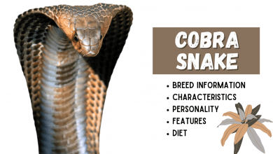 Photo of Cobra Snake Breed Information
