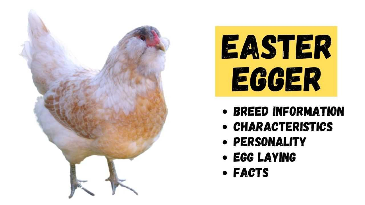 Easter Egger Chicken - Egg Laying, Temperament, & Breed ...