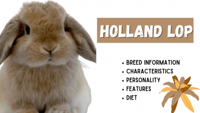 Photo of Holland Lop Breed Information