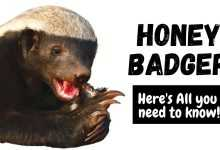 Photo of Honey Badger