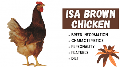 Photo of ISA Brown Chicken Breed Information
