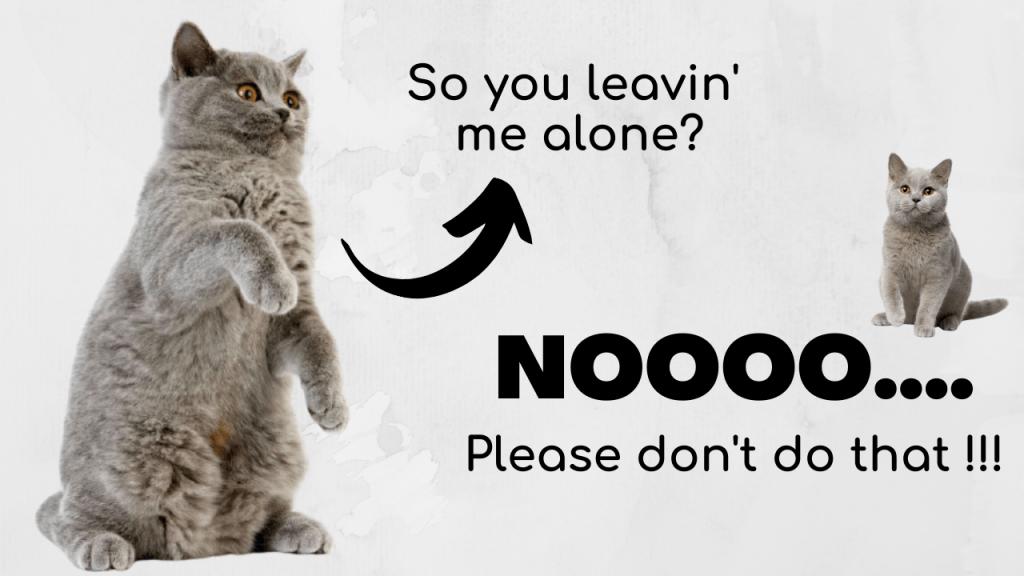 Leaving British Shorthair Cat Alone