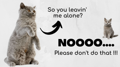 Photo of Can a British Shorthair Cat Be Left Alone?