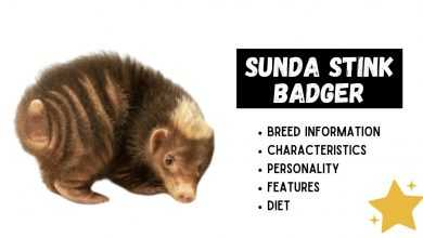 Photo of Sunda Stink Badger (Mydaus javanensis): All Amazing Facts About Them!