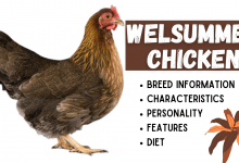 Photo of Welsummer Chicken Breed Information